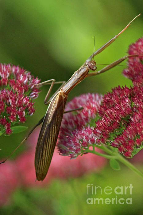Praying Mantis Climbing Up Sedium Flower Print by Inspired Nature Photography By Shelley Myke