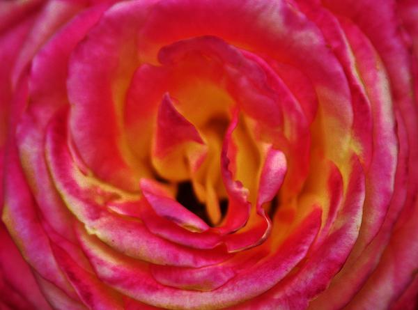 Precious Rose Print by Cynthia Guinn