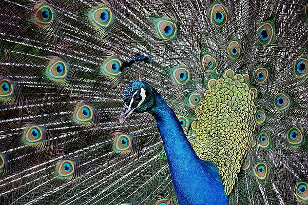 Pretty As A Peacock Print by Paulette Thomas