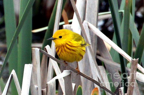Pretty Little Yellow Warbler Print by Elizabeth Winter