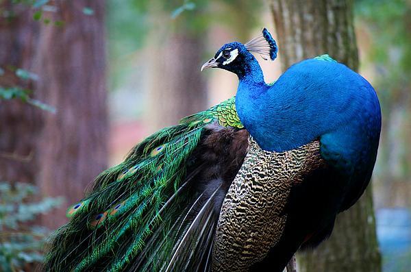 Pretty Peacock Print by Paulette Thomas