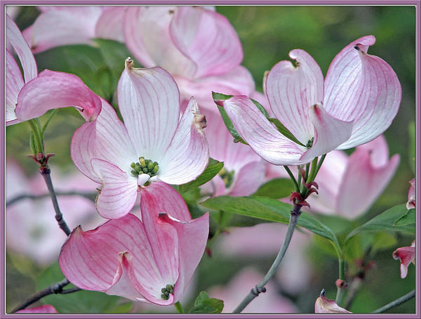 Chris Anderson - Pretty Pink Dogwood