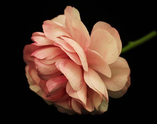 Pretty Pink Flower Print by Carol Welsh