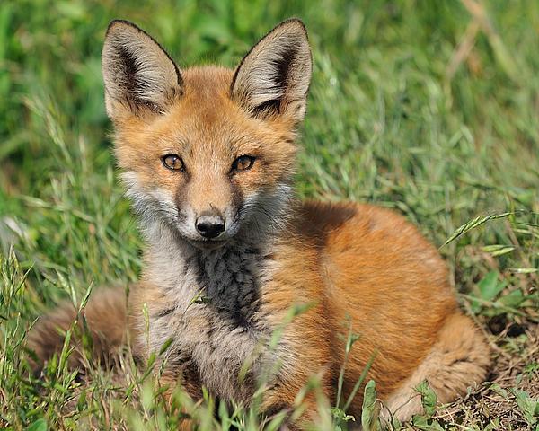 Pretty Red Fox Kit Print by Angel Cher