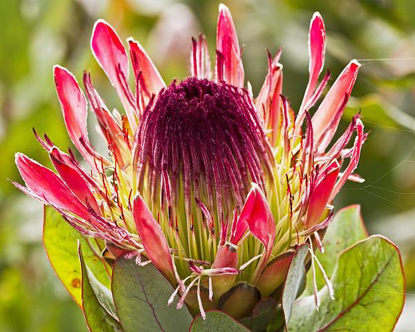 Kate Brown - Protea Sugarbush