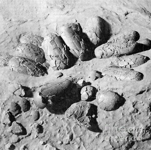 Protoceratops Eggs Cretaceous Dinosaur Print by Science Source