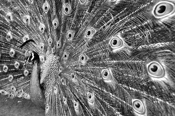 Proud Peacock Print by Sean Davey