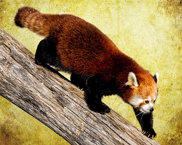 Prowling Red Panda Print by Bill Tiepelman
