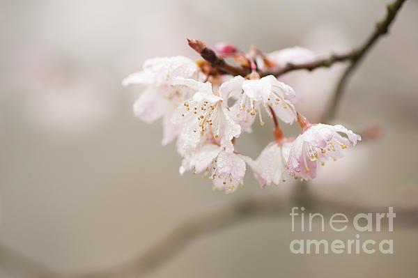 Prunus Hirtipes Print by Anne Gilbert