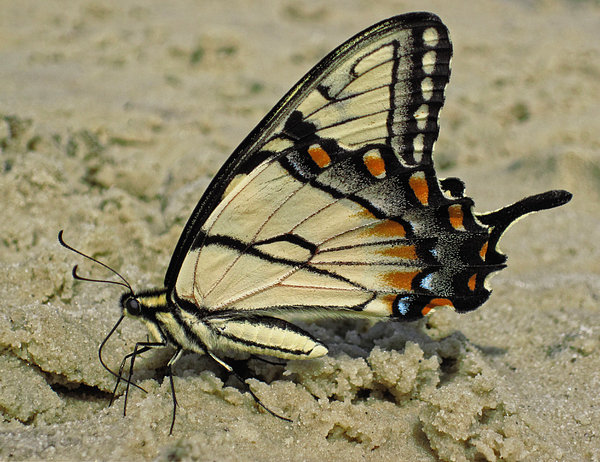 Puddling Eastern Tiger Swallowtail Butterfly Print by Lara Ellis