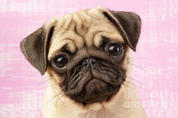 Pug Portrait Print by Greg Cuddiford