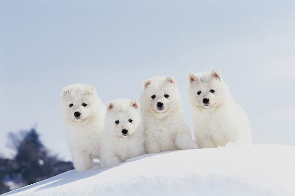 Puppies In Snow Print by Mitsuyoshi  Tatematsu