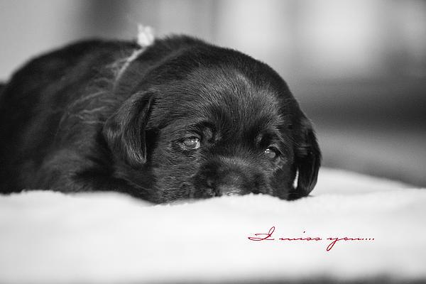 Puppy Black Lab  Print by Toni Thomas