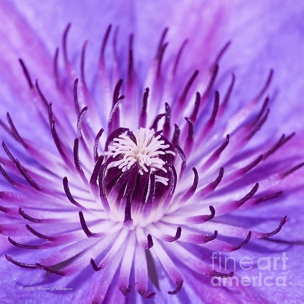 Richard J Thompson  - Purple Clematis