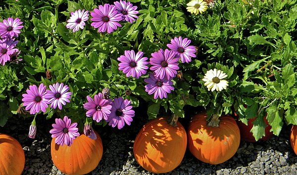 Purple Daisies And A Touch Of Orange Print by Jean Goodwin Brooks