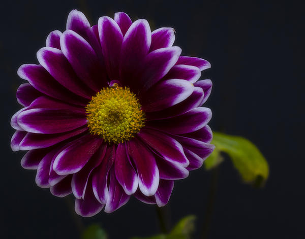 Purple Daisy Print by Dennis Reagan