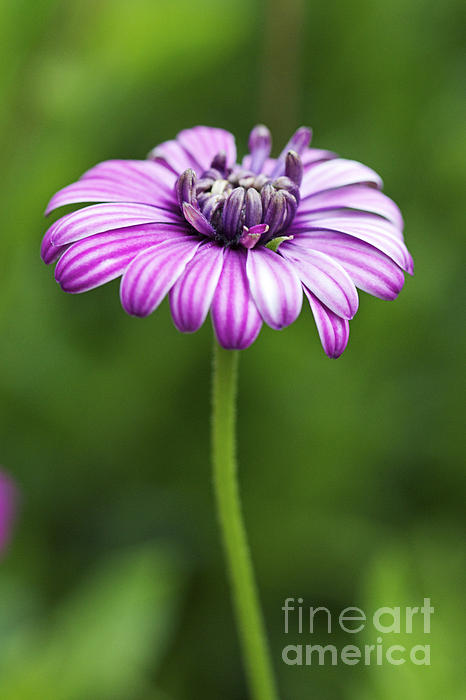 Purple Daisy Print by Pamela Gail Torres