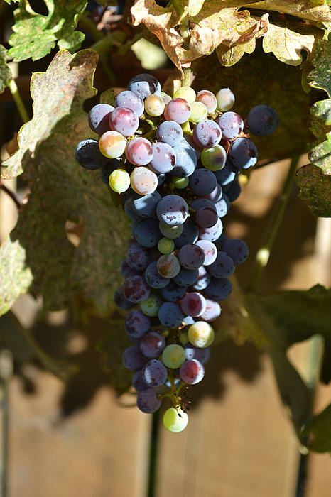 Purple Grapes Print by Holly Blunkall