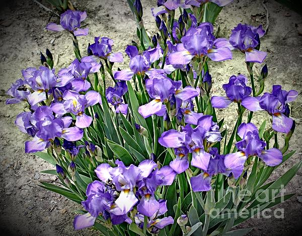 Purple Irises Print by The Art of Alice Terrill