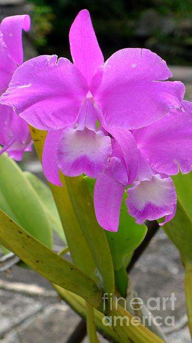 Purple Orchid Print by Mukta Gupta