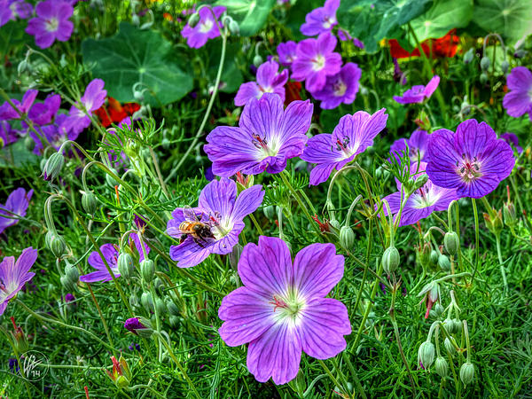 Purple Rozanne Geraniums 002 by Lance Vaughn