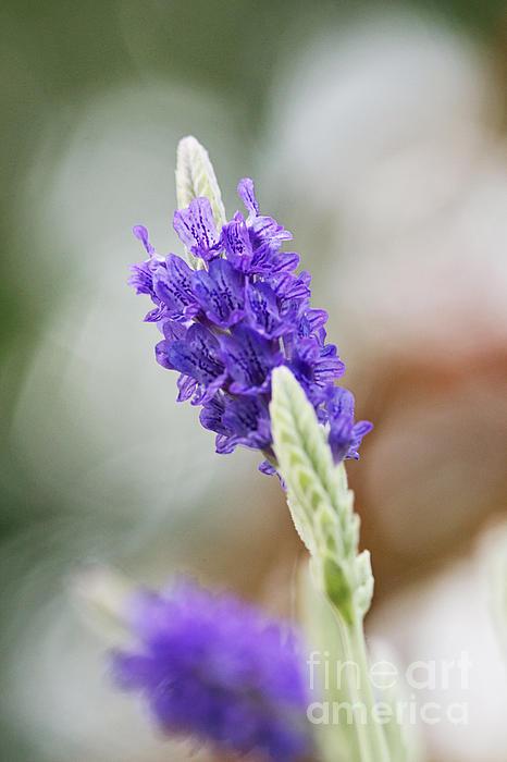 Purple Sage Print by Pamela Gail Torres