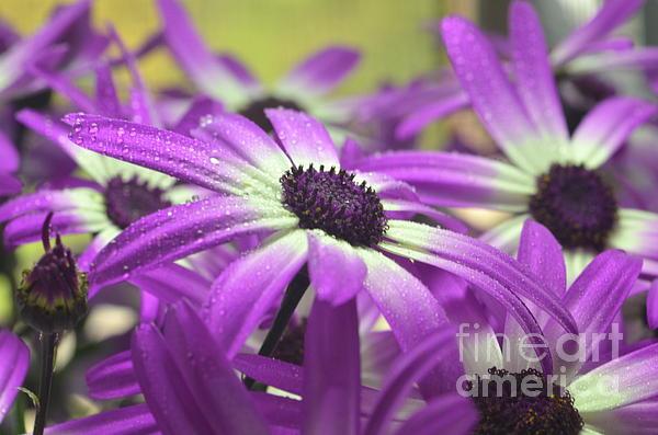 Purple Senetti Iv Print by Cate Schafer