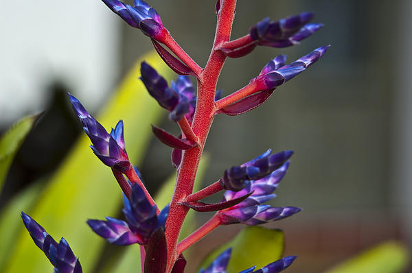 Purple Spike Bromeliad Print by Sharon Cummings