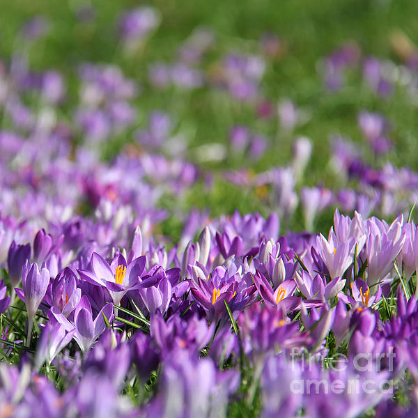 Purple Spring Print by Karin Ubeleis-Jones