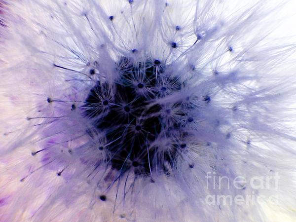 Purple Taraxacum Print by Tina M Wenger