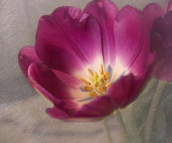 Purple Tulip Print by Kim Hojnacki