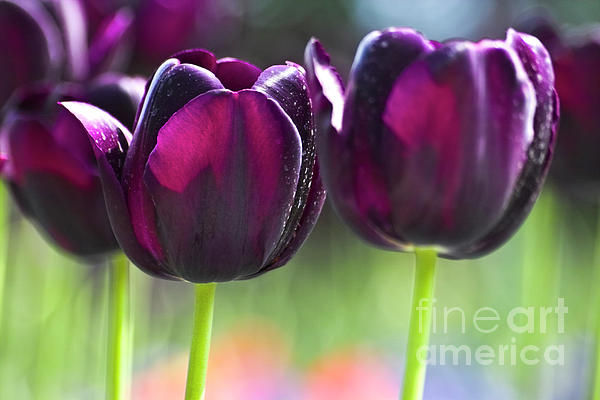 Purple Tulips Print by Heiko Koehrer-Wagner