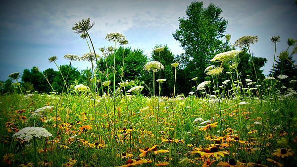 Queen Annes Lace Of The Butterfly Gardens Of Wisconsin Print by Carol Toepke