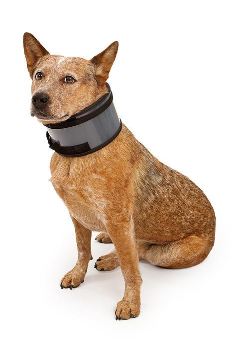 Queensland Heeler Dog Wearing A Neck Brace Print by Susan  Schmitz