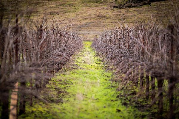 Quiet Vineyard Print by Mike Lee