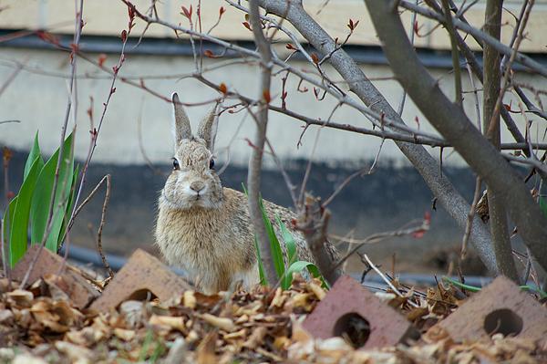 Rabbit In The Garden Print by Ben Grogan