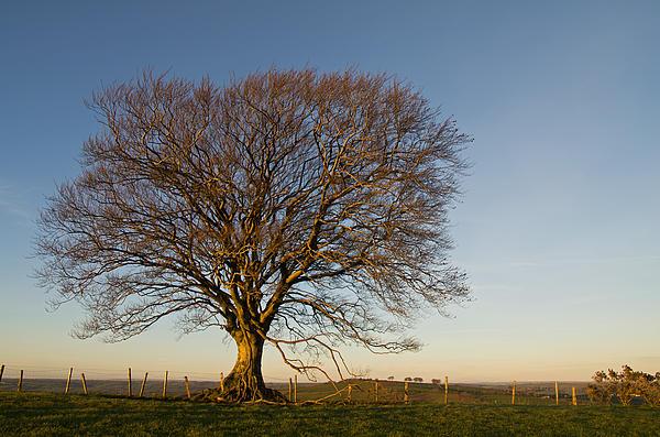 Raddon Hill Top Tree Print by Pete Hemington