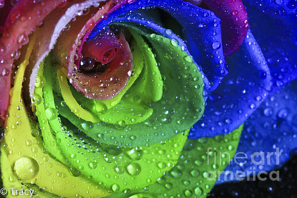 Rainbow Flower Rose Print by Tracy  Hall