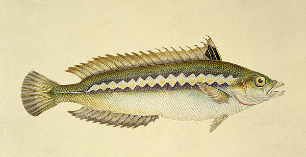Rainbow Wrasse Print by E Donovan and FC and J Rivington