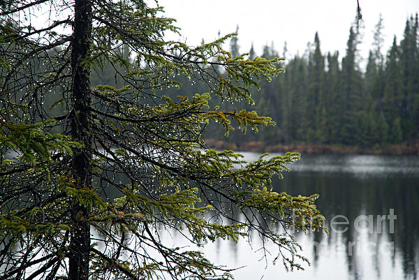Raindrops On An Evergreen Print by Larry Ricker