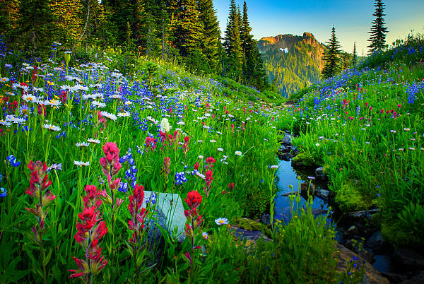Rainier Wildflower Creek Print by Inge Johnsson