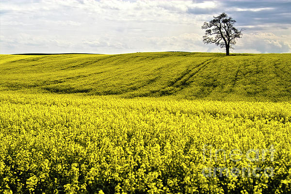 Rape Landscape With Lonely Tree Print by Heiko Koehrer-Wagner