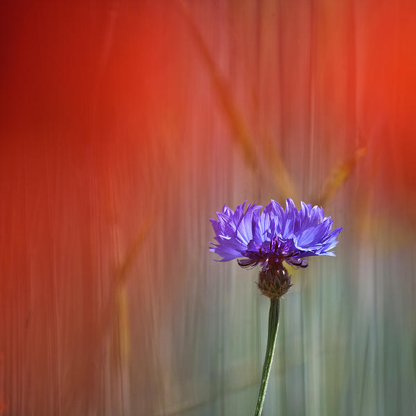 Red And Blue Print by Heiko Koehrer-Wagner