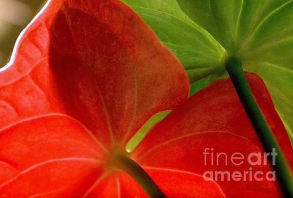 Red And Green Anthurium Print by Ranjini Kandasamy