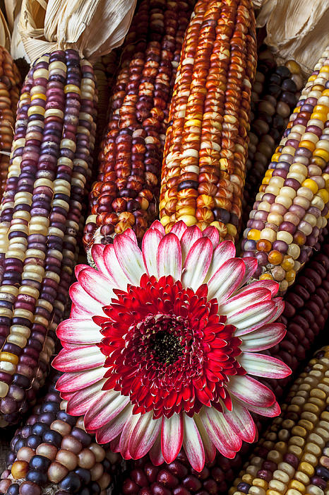 Red And White Mum With Indian Corn Print by Garry Gay