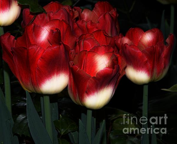 Red And White Tulips Print by Kathleen Struckle