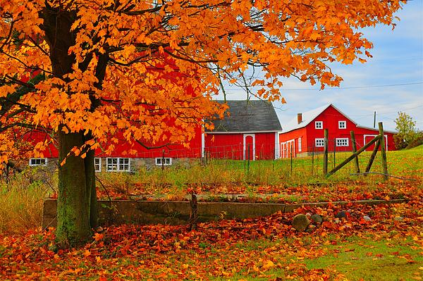 Red Barns In Autumn Print by Terri Gostola