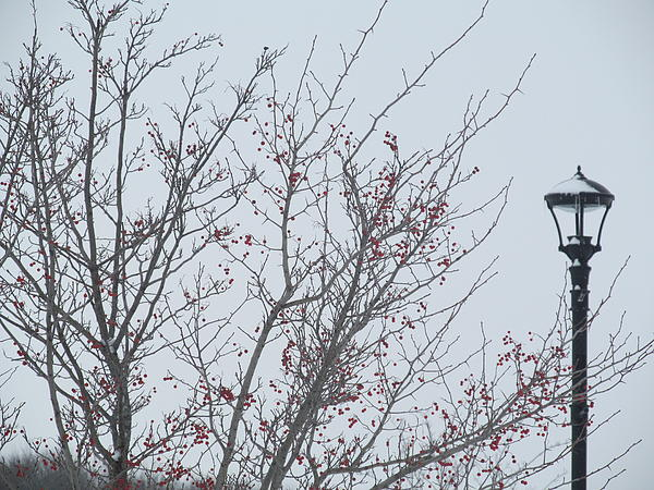 Red Berries And Lamppost Print by Tina M Wenger