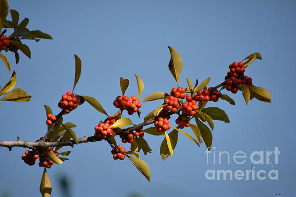Ruth  Housley - Red Berries on Tree Branch