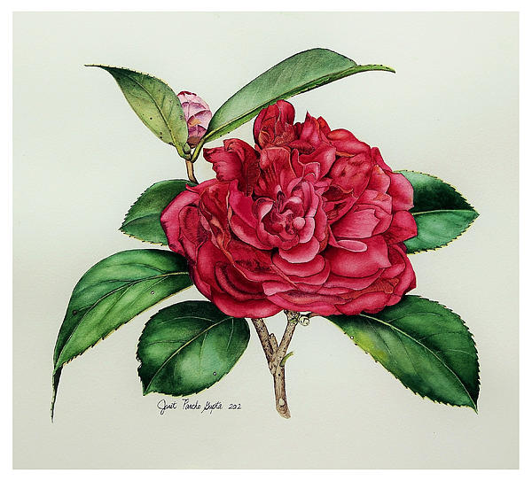 Janet Pancho Gupta - Red Camellia Painting